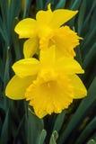 Daffodils kwiaty Obrazy Royalty Free