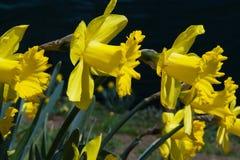 Daffodils kwiaty Obrazy Stock