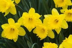 Daffodils Kwitną Podeszczowego dzień Obraz Royalty Free