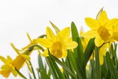 Daffodils kwitną w wiośnie w odosobnionym biały tło fotografia royalty free