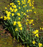 Daffodils Latin name Narcissus February Gold Royalty Free Stock Photo