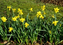 Daffodils Latin name Narcissus February Gold Stock Images