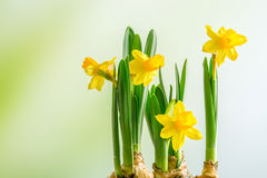 Daffodils lilys on a green background Royalty Free Stock Photo