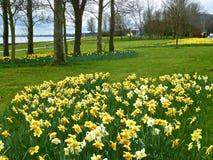 Daffodils, Lough brzeg. Obrazy Stock