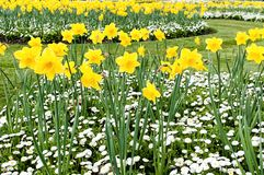 Daffodils and marguerites in the park Stock Images