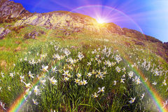 Daffodils Marmarosh Royalty Free Stock Photos