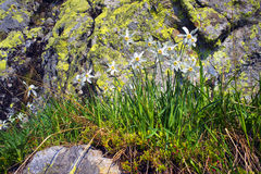 Daffodils Marmarosh Royalty Free Stock Images