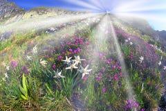 Daffodils Marmarosh Stock Photography