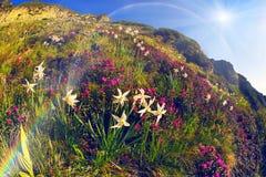 Daffodils Marmarosh Royalty Free Stock Image