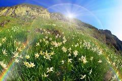 Daffodils Marmarosh Stock Image
