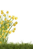 Daffodils on meadow Stock Photography