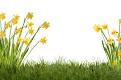 Daffodils on meadow Stock Photo