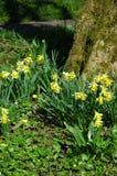 Daffodils miniatura del terreno boscoso. Fotografia Stock Libera da Diritti