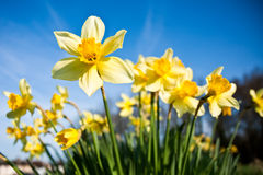 Daffodils with Morning Dew Royalty Free Stock Image