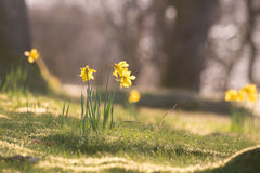 Daffodils in the morning sunlight Stock Images