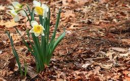 Daffodils na lewicie Zdjęcie Royalty Free
