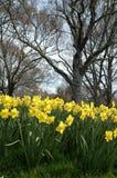 Daffodils na mola Foto de Stock