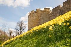 Daffodils na prętowych ścianach w Jork Zdjęcia Stock