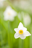 Daffodils (Narcissus). Close up of daffodils (narcissus Royalty Free Stock Images