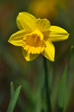 Daffodils narcissus Stock Photography