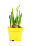 Daffodils (Narcissus) Royalty Free Stock Photos