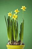 Daffodils (Narcissus) in flower pot royalty free stock photo