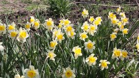 Daffodils narcissus flowering in spring sunshine. Close up of yellow daffodils narcissus flowering in spring sunshine stock video