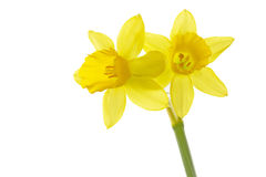 Daffodils (Narcissus pseudonarcissus) Royalty Free Stock Image