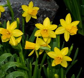 Daffodils Or Narcissus In Spring Royalty Free Stock Photography