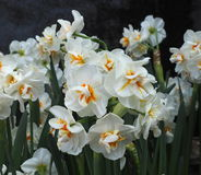 Daffodils Or Narcissus In Spring Royalty Free Stock Photo
