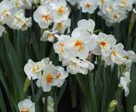 Daffodils Or Narcissus In Spring Stock Photos