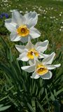 Daffodils. Narzissen. White daffodils. Natural pic.. no photoshop Royalty Free Stock Photography