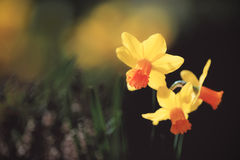 Daffodils in Natural Garden Royalty Free Stock Images
