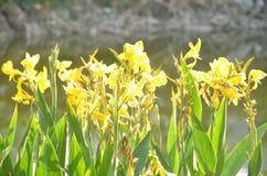 Daffodils nel giardino fotografie stock