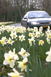 Daffodils nella banchina Fotografie Stock