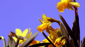 Daffodils. Nice daffodils under blue sky Stock Image