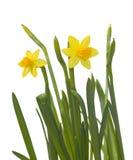 Daffodils no branco imagem de stock royalty free