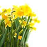 Daffodils no fundo branco Fotos de Stock
