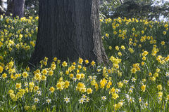 Daffodils and Oak Royalty Free Stock Images