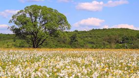 Daffodils odpowiadają na jasnym wiosna dniu Daffodils r w polu zdjęcie wideo
