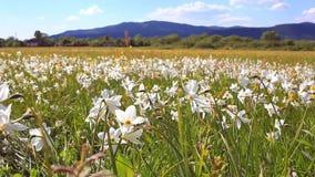 Daffodils odpowiadają w wiosna dniu Daffodils r blisko gór zbiory