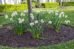 Daffodils offsetting tree bed Royalty Free Stock Photography