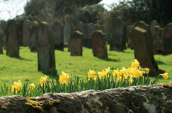 Daffodils in old burial ground. Stone wall with daffodils in foreground and old burial ground behind. Shallow depth of field concentrating on religious royalty free stock photography