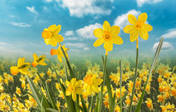 Daffodils On A Clear Day Stock Photography