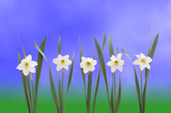 Daffodils over blue background Stock Images