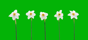 Daffodils over green background Royalty Free Stock Photo