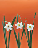Daffodils over orange background Royalty Free Stock Photos