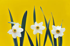Daffodils over yellow background Royalty Free Stock Image