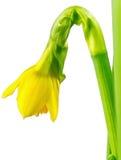 Daffodils Paperwhite Стоковые Фото