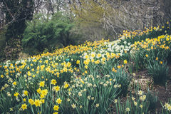 Daffodils. Royalty Free Stock Photo